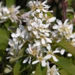 Saskatoon Berry (Amelinchier alnifolia)