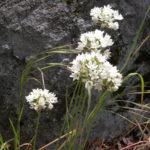 Fool's Onion (Brodiaea hyacinthina)
