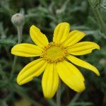 Wooly Sunflower (Eriophyllum lanatum)