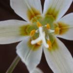 Easter Lily (Erythronium oregonum)