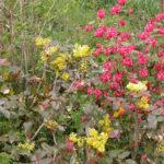 Mahonia Aquifolium Ribes Sanguineum