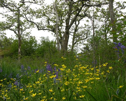 Garry Oak Meadow flowers