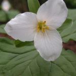 Trillium (Trillium ovatum)